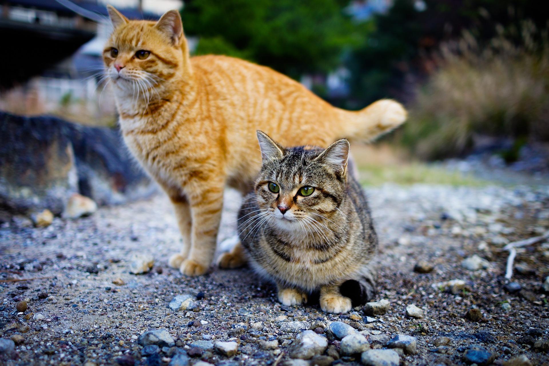 Cats on Tashirojima, Japan