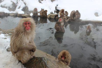 Japanese macaques at the Jigokudani Monkey Park