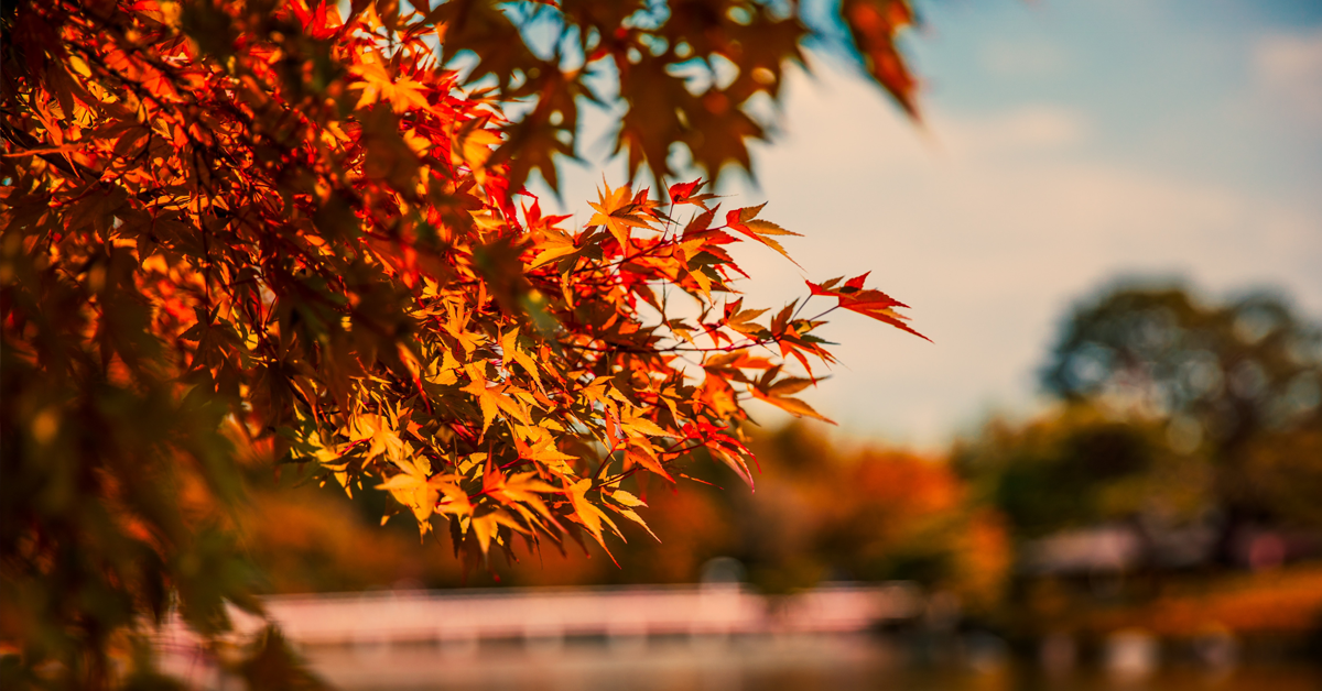 japan's autumn leaves